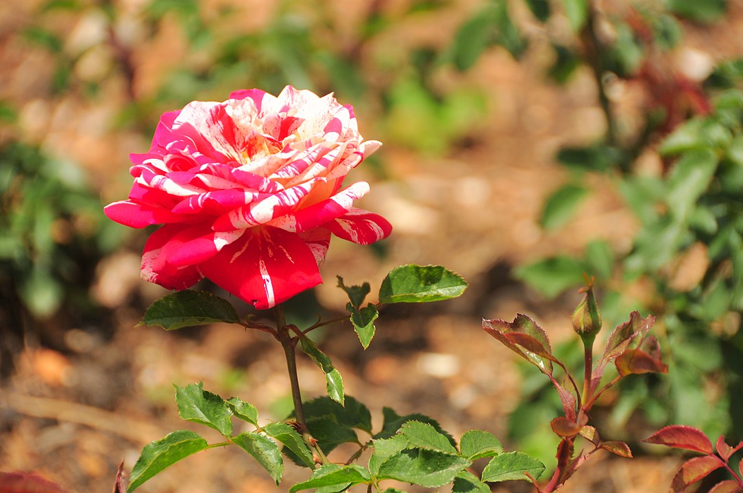 1084px-Papagena_rose_ooty_gardens